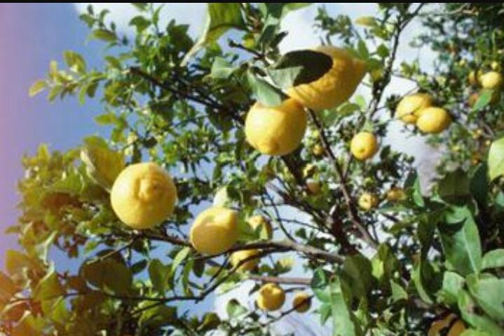 Limon agaci